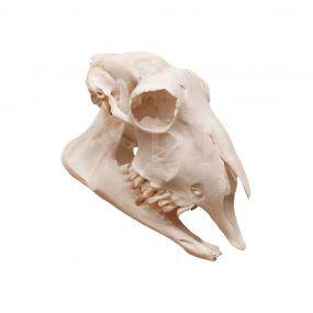 Crânio Natural de Ovelha (ovis Aires)
