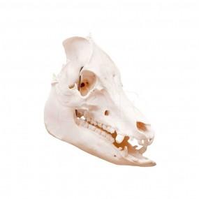 Crânio Natural do Porco (sus Scrofa Domesticus)