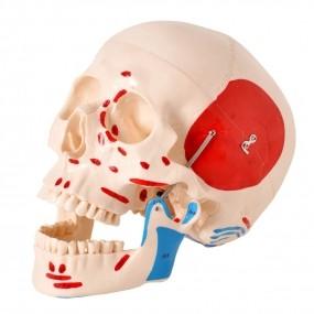 Crânio Numerado, com Origens E Inserções Musculares, em 2 Partes