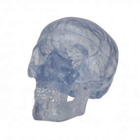 Crânio Transparente