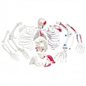 Esqueleto Completo Desarticulado E Pintado