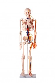 Esqueleto de 85 Cm, com Nervos E Vasos Sanguíneos