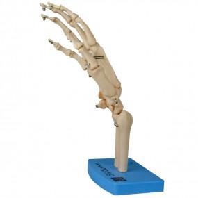 Esqueleto de Mão com Ossos do Punho
