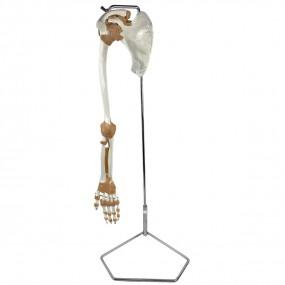 Esqueleto de Membro Superior com Articulações E Suporte