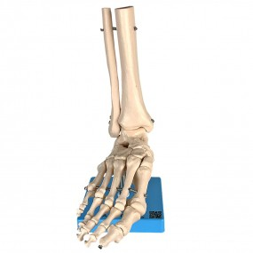 Esqueleto de Pé com Ossos Tornozelo