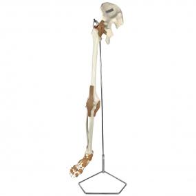 Esqueleto do Membro Inferior com Articulações E Suporte