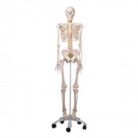 Esqueleto Fred A15, O Esqueleto Flexível em Suporte de Metal com 5 Rolos