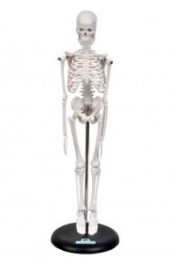 Esqueleto Humano 45cm c/ Suporte