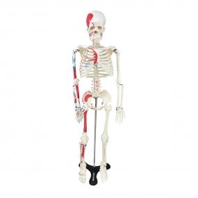 Esqueleto Humano 85 Cm de Altura C/, Origens E Inserções Musculares E Haste c/ Suporte