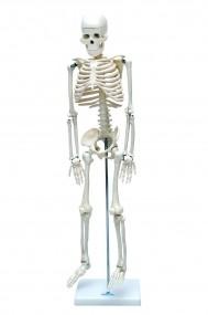 Esqueleto Humano 85 Cm de Altura c/ Suporte