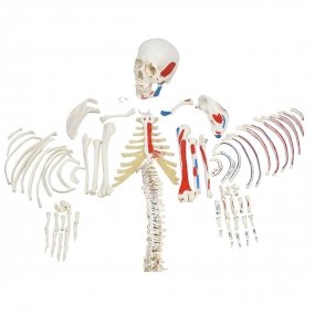 Esqueleto Humano Desarticulado c/ Origens E Inserções Musculares