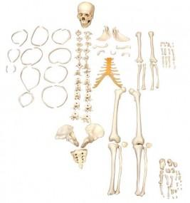 Esqueleto Humano Desarticulado Tamanho Natural