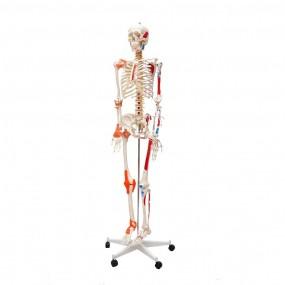 Esqueleto Humano Padrão de 1.70 Cm c/ Articulações, Inserções Musculares E Haste c/ Suporte E Rodas