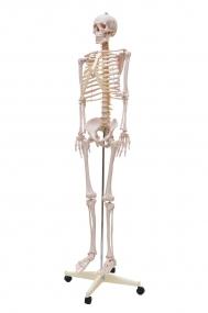Esqueleto Humano Padrão de 1,70 Cm c/ Suporte, Haste E Rodas.
