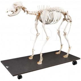 Esqueleto Natural de Cachorro Articulado (canis Lupus Familiaris)