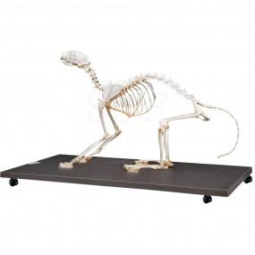 Esqueleto Natural de Gato Articulado (felis Catus)