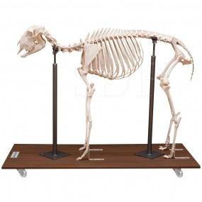Esqueleto Natural de Ovino Articulado (ovis Aires)
