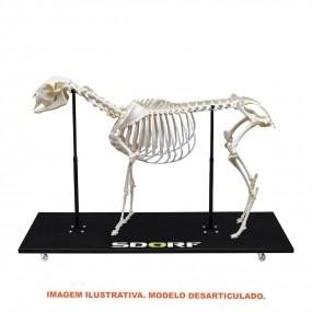 Esqueleto Natural de Ovino Desarticulado (ovis Aires)