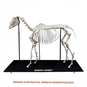 Esqueleto Natural Desarticulado de Equino ( Equus Ferus Caballus)
