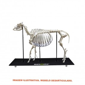 Esqueleto Natural Desarticulado de Vaca (bostaurus)