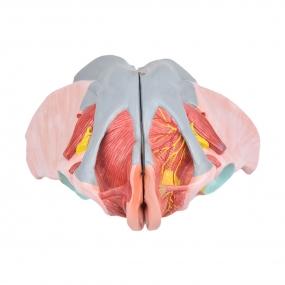 Esqueleto Pélvico Feminino c/ Sistema Reprodutivo em 4 Partes