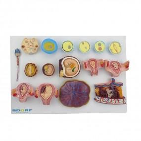 Fertilização Humana E Desenvolvimento Embrionário