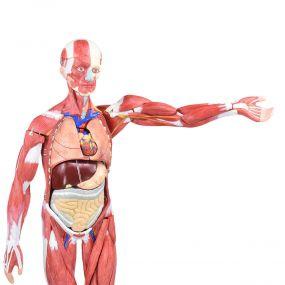 Figura Muscular Assexuada de 80cm c/ Órgãos Internos em 27 Partes