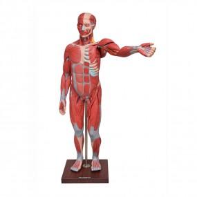 Figura Muscular de 1,70cm em 22 Partes