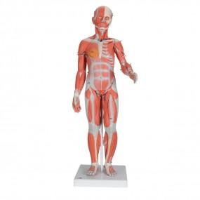 Figura Muscular Masculina E Feminina E Órgãos Internos, 33 Partes