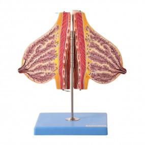 Glândula Mamária em Lactação