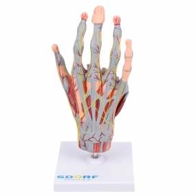 Mão Musculado em Tamanho Real em 5 Partes