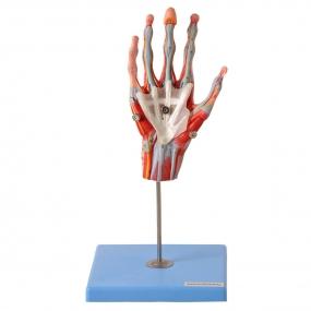 Mão Muscular com Principais Nervos E Vasos