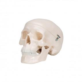 Mini-crânio, em 3 Partes