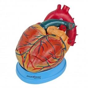 Mod. Anat. Coração Ampliado em 3 Partes
