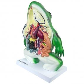 Modelo Anatomico Anatomia do Sapo em Corte Coronal, em Resina