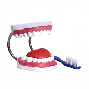 Modelo Anatomico Arcada Dentária com Língua E Escova