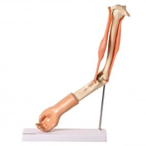 Modelo Anatomico Braço com Músculo Articulado