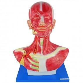 Modelo Anatomico Cabeça E Pescoço Muscular