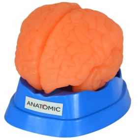Modelo Anatomico Cérebro em 9 Partes