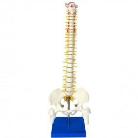 Modelo Anatomico Coluna Vertebral 50cm