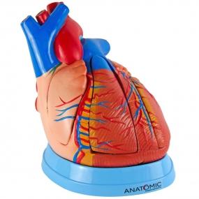 Modelo Anatomico Coração Ampliado em 5 Partes