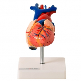 Modelo Anatomico Coração Tamanho Natural com 2 Partes