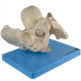 Modelo Anatomico Demonstração Da Pelve No Momento do Parto
