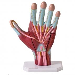 Modelo Anatomico Mão Muscular Ampliada, em 3 Partes