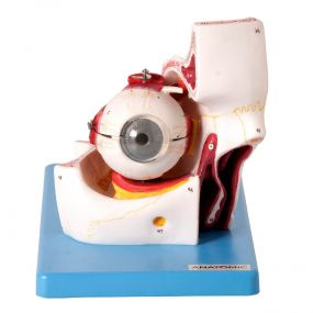 Modelo Anatômico Olho em Órbita Ampliado, em 10 Partes