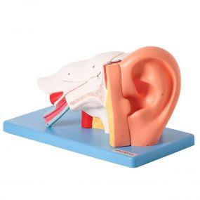 Modelo Anatômico Ouvido Ampliado, em 6 Partes