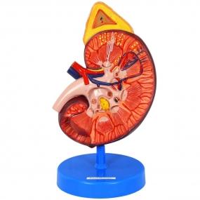 Modelo Anatomico Rim Ampliado em Corte Sagital