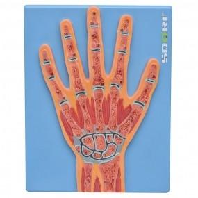 Modelo Anatomico Secção Mediana Da Mão