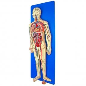 Modelo Anatomico Sistema Circulatório em Placa