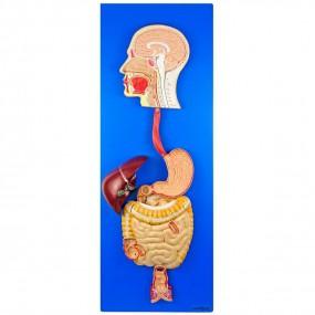 Modelo Anatomico Sistema Digestório